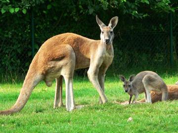 kangourou2